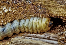 Die Larven sind madenähnlich, beinlos und in der Regel weiß gefärbt mit einer dunkleren, hart sklerotisierten Kopfkapsel.